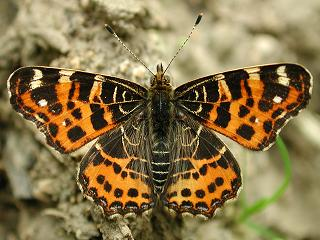 Landk�rtchen Fr�hlingsform Araschnia levana Map Butterfly