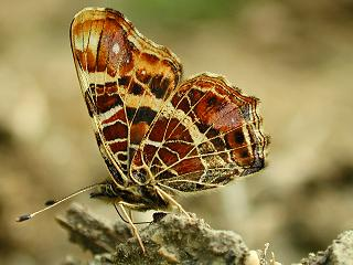 Landk�rtchen   Map Butterfly  Araschnia levana (16966 Byte)