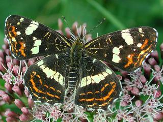 Landkärtchen   Sommerform Araschnia levana  Map Butterfly  (25435 Byte)