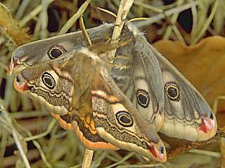 Paarung Kleines Nachtpfauenauge Emperor Moth Saturnia ( Eudia ) pavonia  Paarung (8347 Byte)