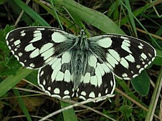 Schachbrett Melanargia galathea Marbled White (8128 Byte)
