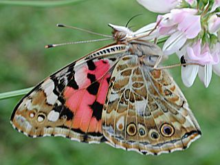 Distelfalter Vanessa cardui Painted Lady Wanderfalter migration (6226 Byte)
