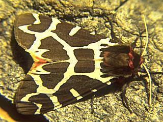 Brauner B�r  Arctia caja  Garden Tiger (25789 Byte)