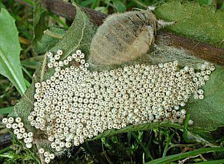 Weiblicher Schlehen-Bürstenspinner  Orgyia antiqua The Vapourer(30495 Byte)
