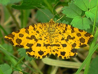 Panther-Spanner Pseudopanthera macularia Speckled Yellow (17590 Byte)