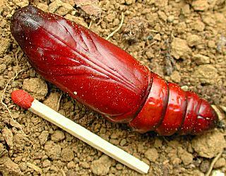 Puppe Totenkopfschwärmer Acherontia atropos Deathhead Hawk-moth (32223 Byte)