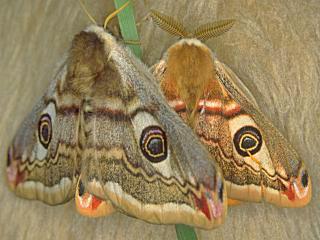 Paarung Kleines Nachrpfauenauge, Paarung Saturnia ( Eudia ) pavonia Emperor Moth (13707 Byte)