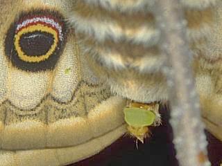 Duftdrüse zur Absonderung von Pheromonen , Kleines Nachtpfauenauge ( Eudia ) Saturnia pavonia Emperor Moth (6390 Byte)