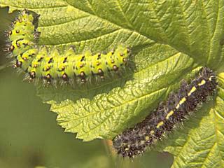 Halberwachsene Raupen Kleines Nachtpfauenauge Eudia ( Saturnia ) pavonia Emperor Moth (8578 Byte)