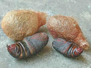 Puppen Kleines Nachtpfauenauge Eudia bzw. Saturnia pavonia Emperor Moth (10220 Byte)