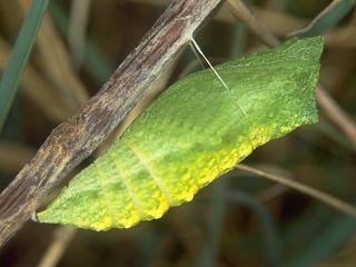 Puppe Schwalbenschwanz Papilio machaon Swallowtail