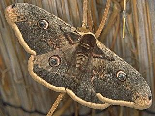 Wiener Nachtpfauenauge  Saturnia pyri   Large Emperor Moth (26720 Byte)