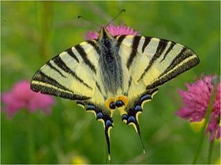 segelfalter iphiclides podalirius scarce swallowtail. Black Bedroom Furniture Sets. Home Design Ideas