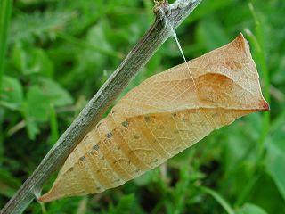 Puppe Segelfalter Iphiclides podalirius Scarce Swallowtail