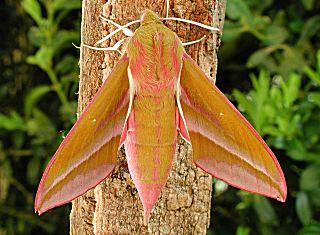 Deilephila elpenor Mittlerer Weinschw�rmer Elephant Hawk-moth (23802 Byte)