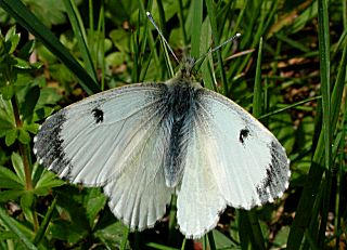 Aurorafalter, weiblich Anthocharis cardamines Orange Tip