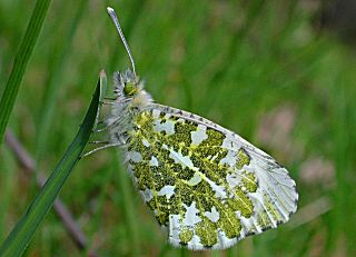 Aurorafalter, weiblich Orange Tip Anthocharis cardamines  (17152 Byte)
