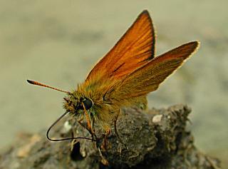 Schwarzkolbiger Braun-Dickkopffalter Thymelicus lineola Essex Skipper (11651 Byte)