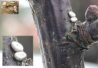 Plemyria rubiginata   Thecla betulae