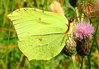 M�nnchen Zitronenfalter Brimstone Gonepteryx rhamni (24592 Byte)