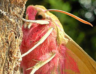 Mittlerer Weinschwärmer Deilephila elpenor Elephant Hawk-moth (26056 Byte)