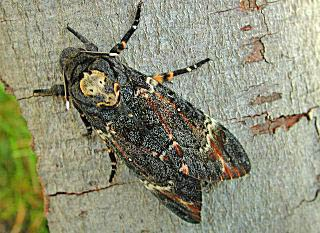 Totenkopfschw�rmer Acherontia atropos Deathhead Hawk-moth (26331 Byte)