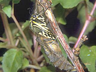 Schlüpfender Falter Schwalbenschwanz Papilio machaon Swallowtail