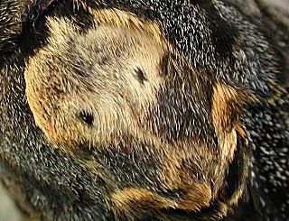 Totenkopfschw�rmer Deathhead Hawk-moth Acherontia atropos (34891 Byte)