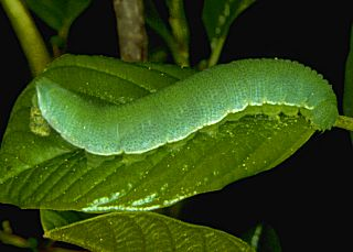 Raupe Zitronenfalter Gonepteryx rhamni Brimstone (15037 Byte)