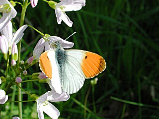 Aurorafalter Anthocharis cardamines Orange Tip