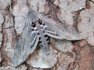 Windenschwärmer Agrius convolvuli Convolvulus Hawk-moth