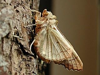 Unterseite Achateule Angle Shades Phlogophora meticulosa