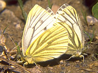 Paarung Rapswei�ling   Pieris napi   Green-veined White  (28663 Byte)