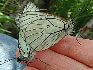 Paarung Baumwei�ling Aporia crataegi Black-veined White