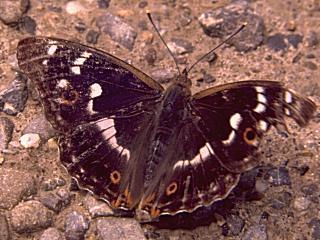 Kleiner Schillerfalter Apatura ilia weiblicher Schsmetterling (8154 Byte)