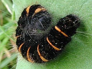 Raupe Brombeerspinner   Macrothylacia rubi   Fox Moth  (30289 Byte)