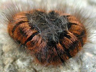 Raupe  Brombeerspinner   Macrothylacia rubi   Fox moth   (23452 Byte)