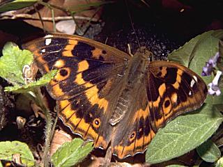 Kleiner Schillerfalter Apatura ilia Form clytie (9906 Byte)
