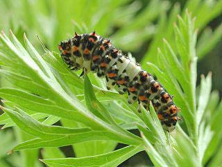 Jungraupe Schwalbenschwanz Papilio machaon Swallowtail