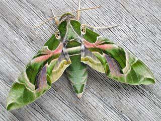 Oleanderschwärmer Daphnis nerii Oleander Hawk-moth Schmetterlinge und Raupen Südeuropas Griechenland Italien Südfrankreich Spanien Portugal Korsika Sardinien Kroatien Schmetterling
