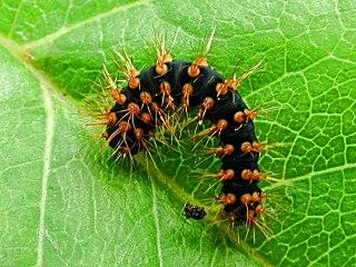 R�upchen  Saturnia pyri   Wiener Nachtpfauenauge   Large Emperor Moth (36067 Byte)
