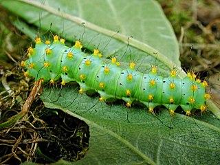 Raupe Wiener Nachtpfauenauge   Saturnia pyri   Large Emperor Moth (30037 Byte)
