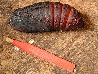 Puppe Wiener Nachtpfauenauge   Saturnia pyri   Large Emperor Moth (37775 Byte)