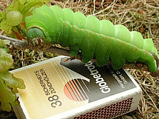 Raupe Japanischer Eichenseidenspinner   Japanese Oak Silkmoth   Antherea yamamai (36074 Byte)
