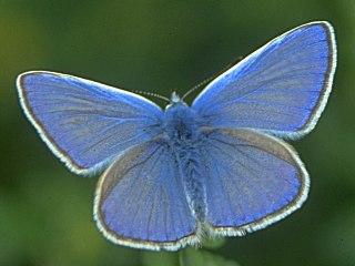 Hauhechel-Blaeuling   Polyommatus icarus   Common Blue (17392 Byte)