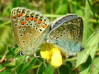 Paarung Hauhechel-Bläuling   Polyommatus icarus   Common Blue
