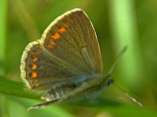 Weibchen Hauhechelbl�uling   Common Blue   Polyommatus icarus (14255 Byte)