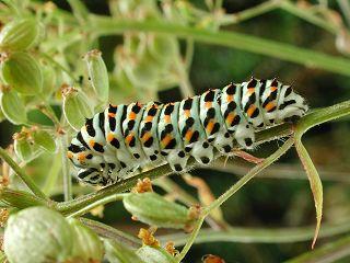 Halberwachsene Raupe Schwalbenschwanz Papilio machaon Swallowtail
