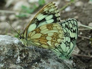 Paarung Schachbrett Melanargia galathea Marbled White