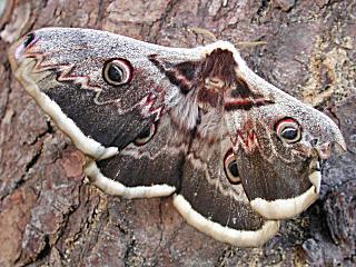 Wiener Nachtpfauenauge Saturnia pyri Large Emperor Moth Gro�es Nachtpfauenauge Great Peacock Moth
